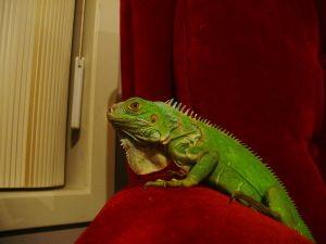 Iguana on a red chair