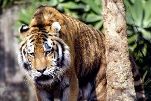 Hunter tiger