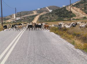 Goats on a road