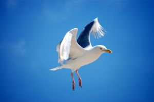 Adult gull