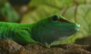 Madagascan giant day gecko