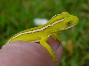 Baby yellow gecko