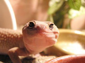 Albino leopard gecko face