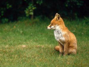 English fox, a cub