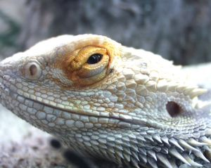 Dragon lizard