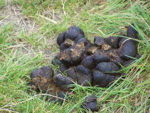 Horse dung