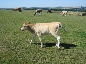 Calf with cows on grass land