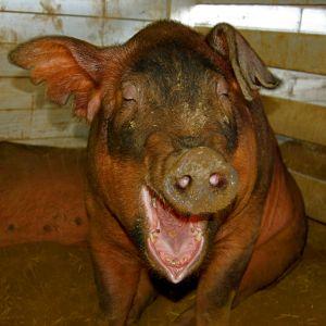 Haha, very funny pig