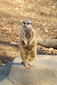 Howdy said the meerkat