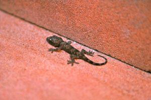 Baby lizard gecko