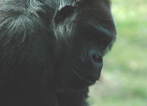 Gorilla bondage
