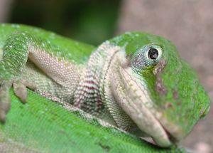 Lizard in green