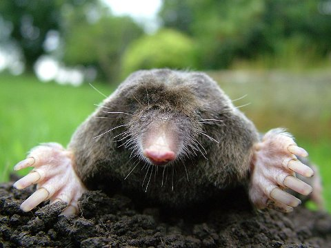Close-up of a mole