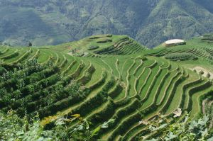Rice terrace in China