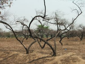 Lifeless trees on parched land