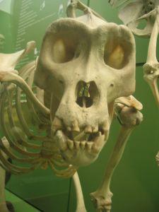 Monkey bones
