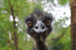Earnie the emu