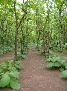 Ghana banana leaf plantation