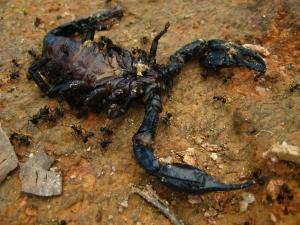 Dead scorpions
