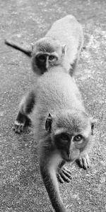 Monkeys arrive