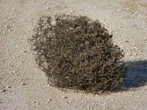 New Mexico tumbleweed