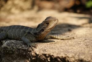 Sydney dragon