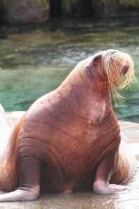 Fat walrus