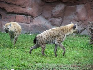 Hyenas