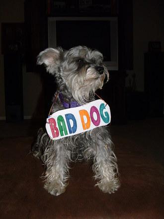 A bad dog