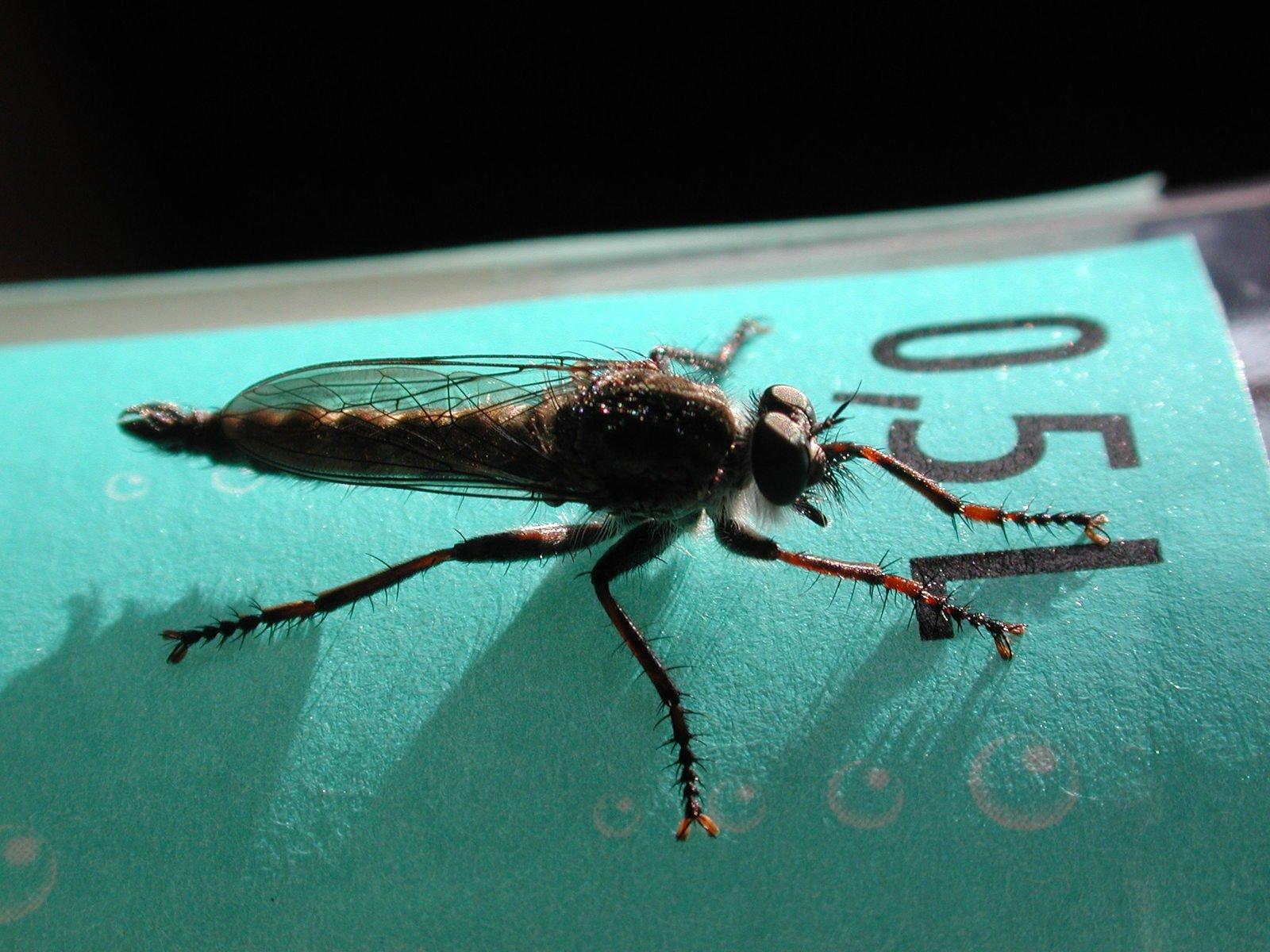 Fly buzzing