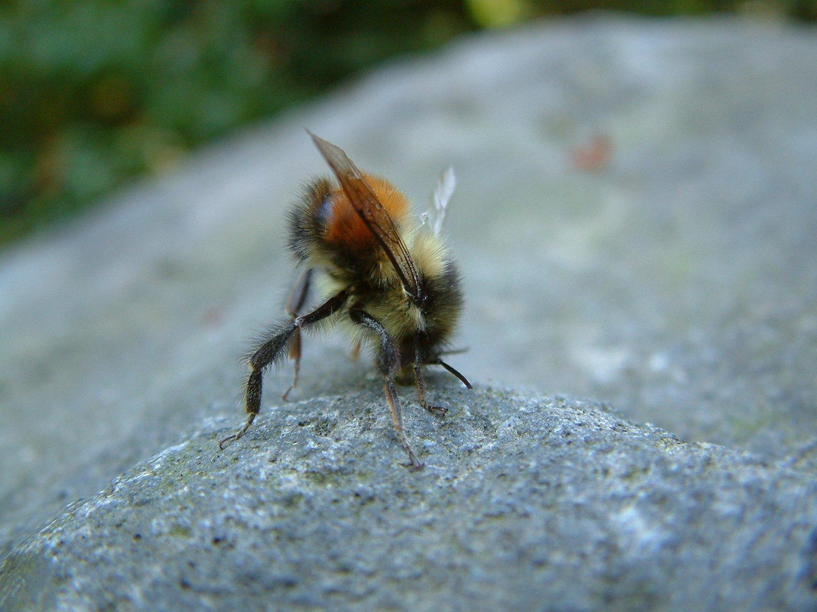 Fallen bee