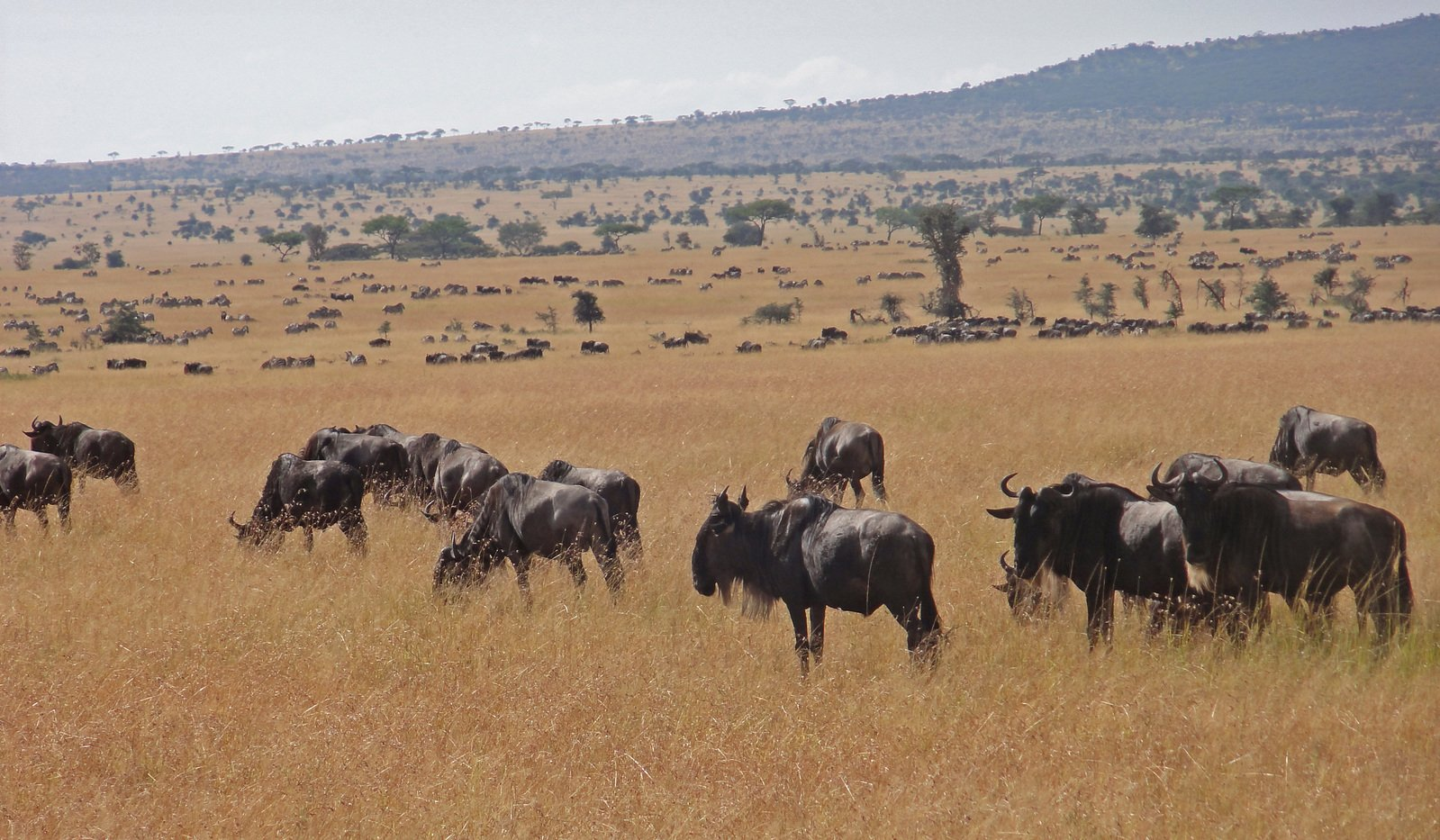 Pack of gnu in the wild
