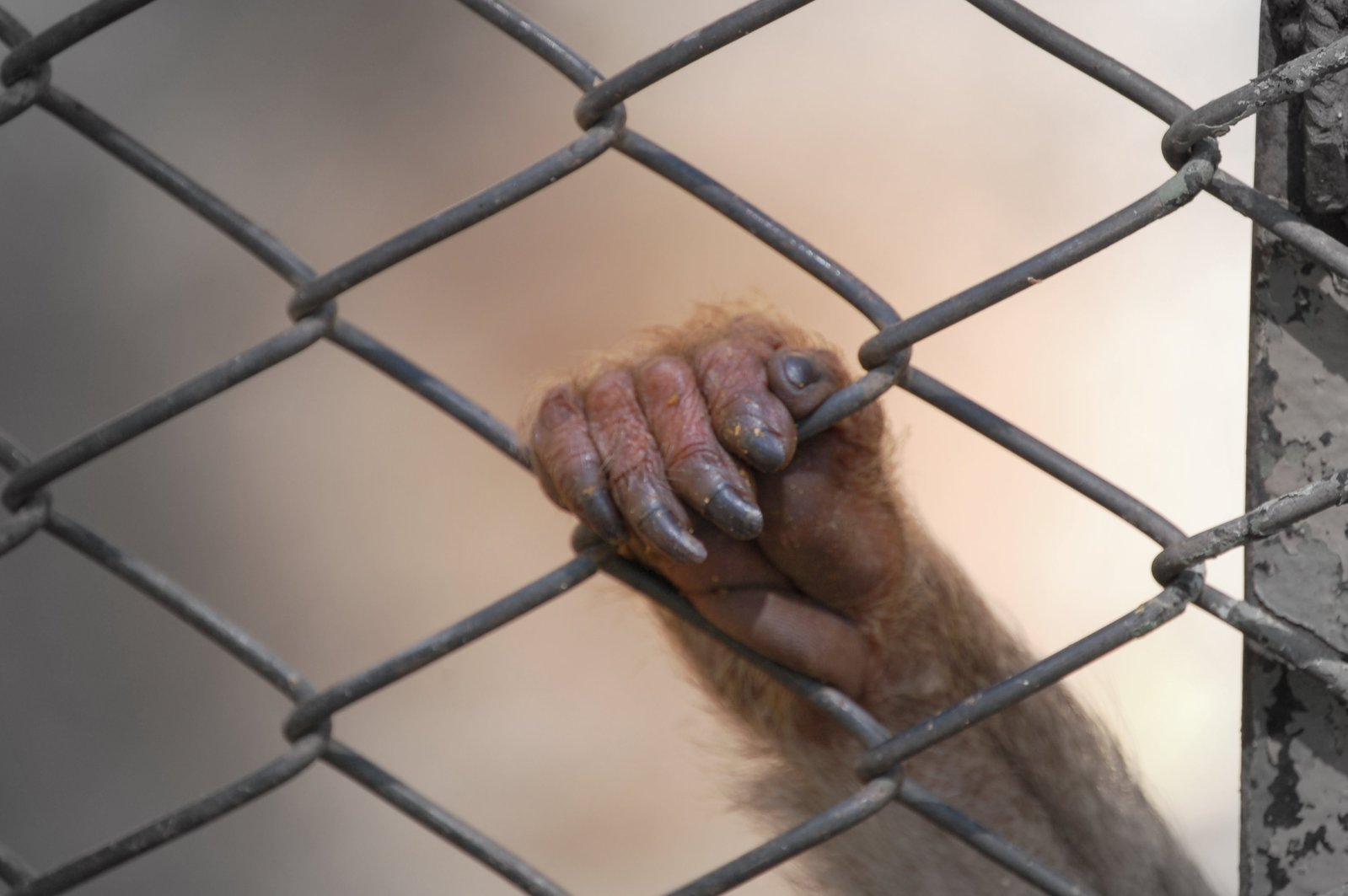Jailed monkey