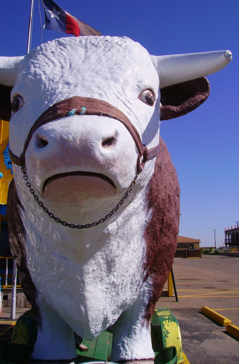 Texan cow