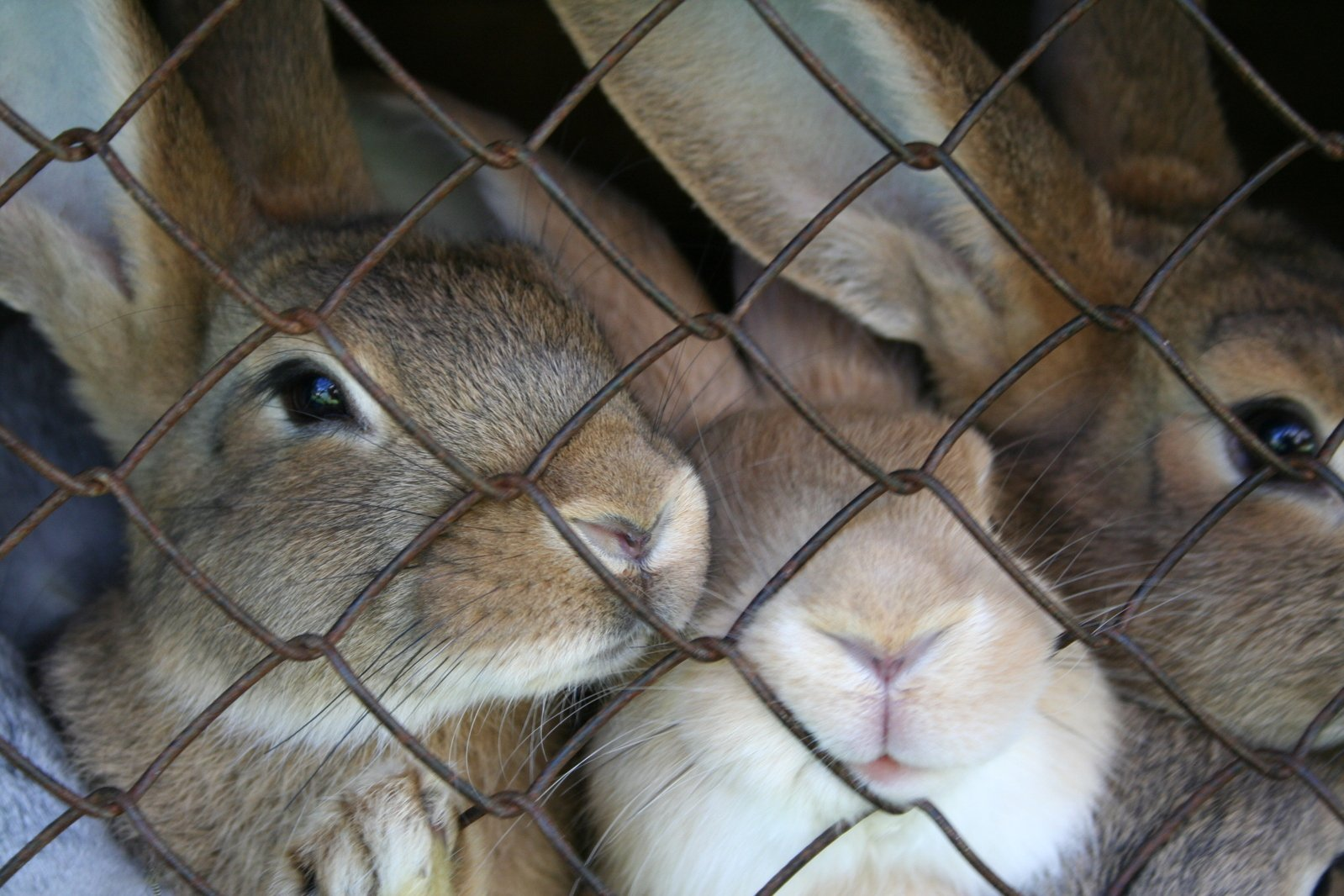 3 rabbits caged