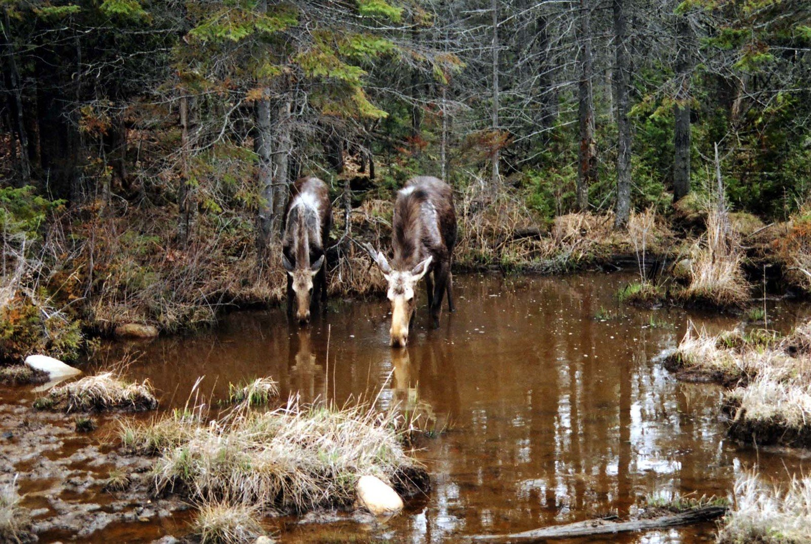 Moose mother and calf