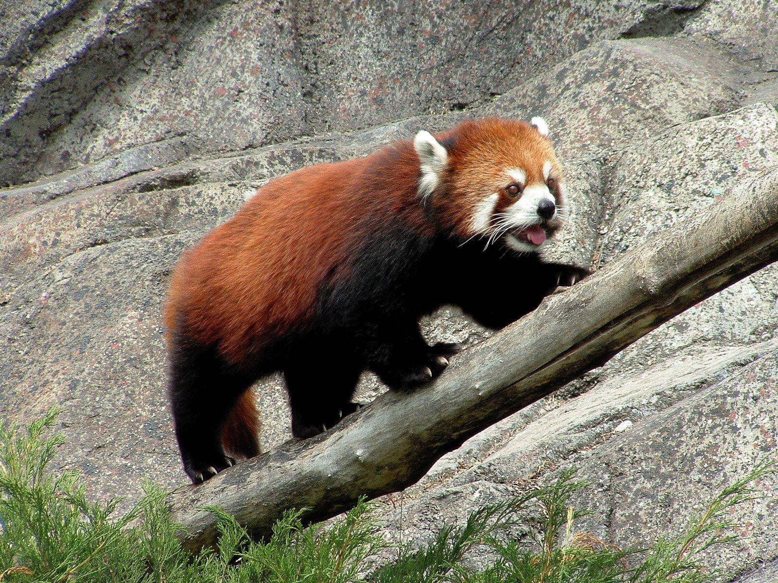 Panda/Firefox