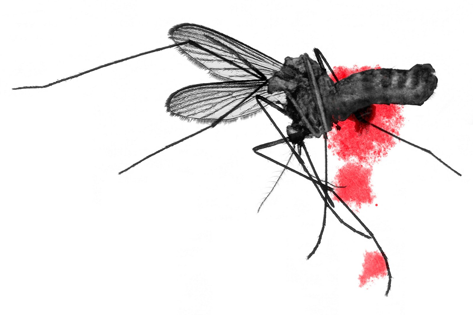 Flat mosquito