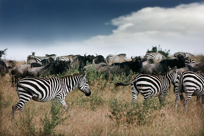 Wildebeest and Zebras in the Maasai Mara
