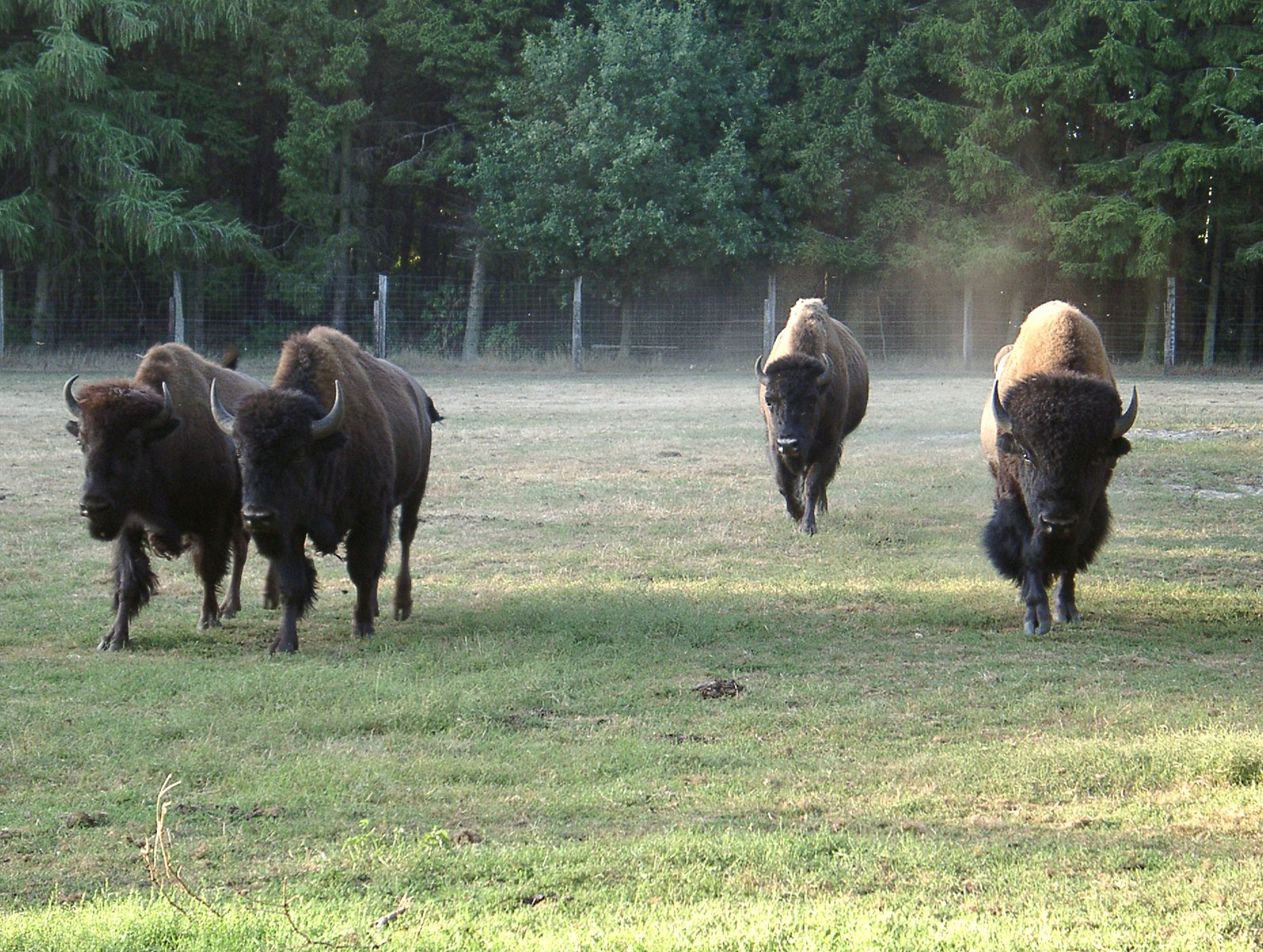Bison coming