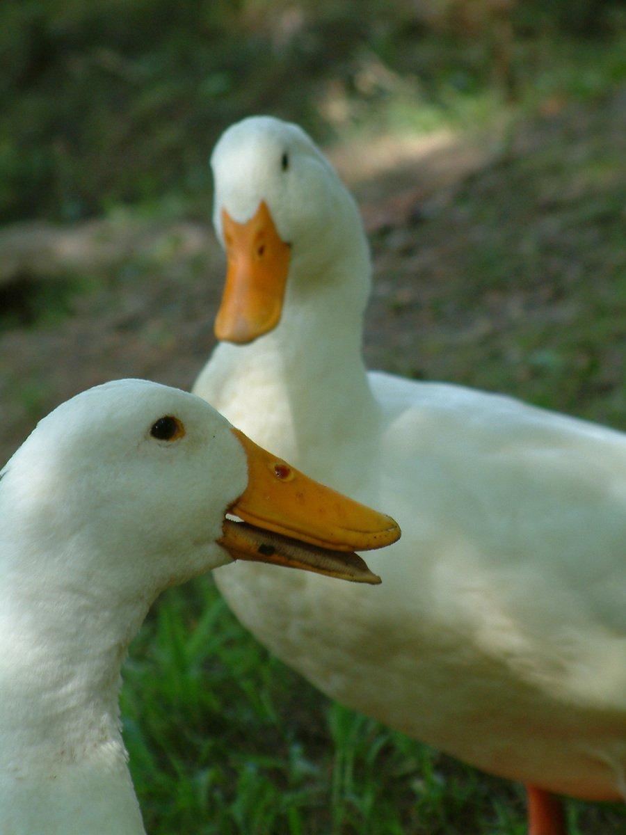 Chatting ducks