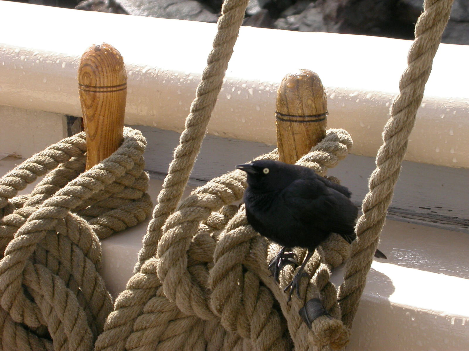 Bird on Ropes